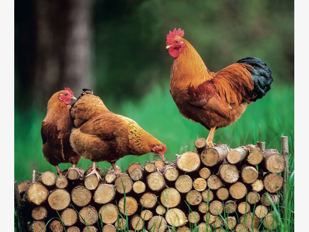 Hühnerhaltung Im Garten 5 tipps rund um die hühnerhaltung im garten hshire and