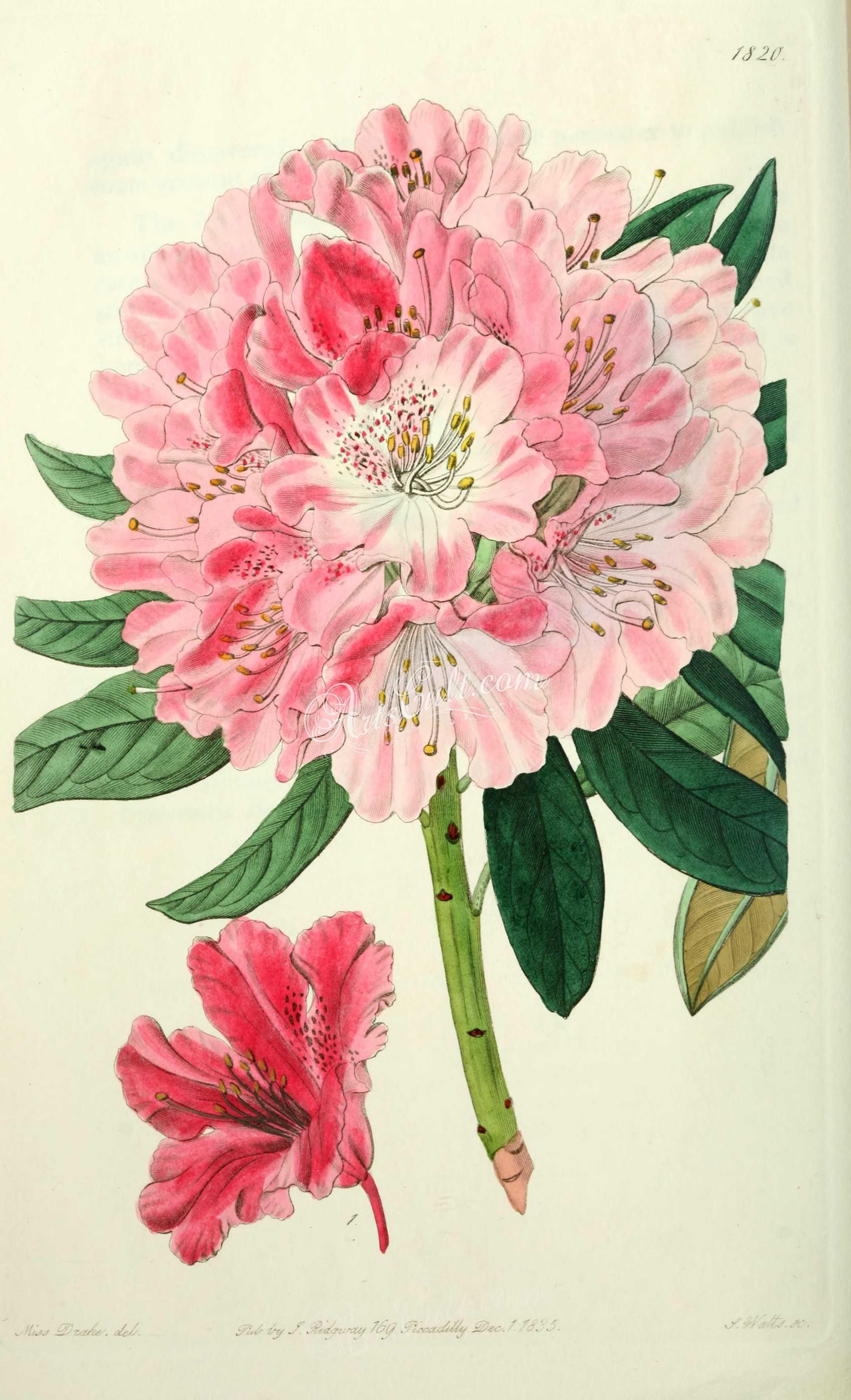 Flowers 21492  1820 Rhododendron Pulcherrimum, Lovely Rhododendron [2545X4187]