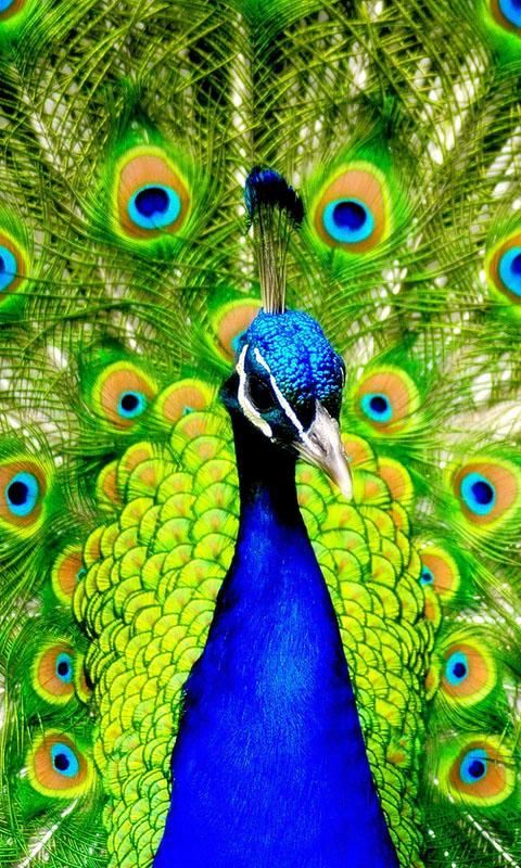 animated peacock wallpapers 28 images peacock
