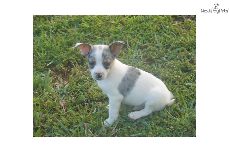 Silver Merle Male Merlin Chihuahua Puppies For Sale Cute Chihuahua Chihuahua Puppies