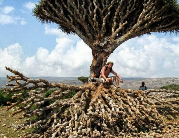 Dragon Trees Of Socotra Island Republic Of Yemen