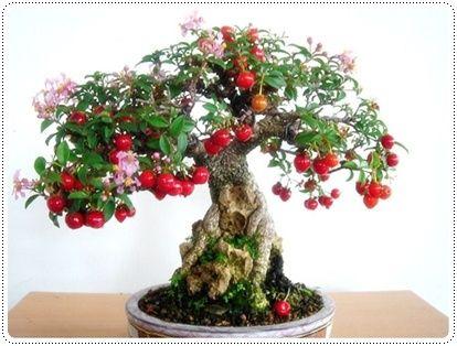 Beautiful Cherry Tree Bonsai Fruit Tree Bonsai Tree Bonsai Cherry Tree