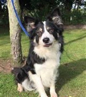 Adopt Jess Staffordshire Border Collie Trust Rescue Dogs Rescue Dogs Dogs Collie