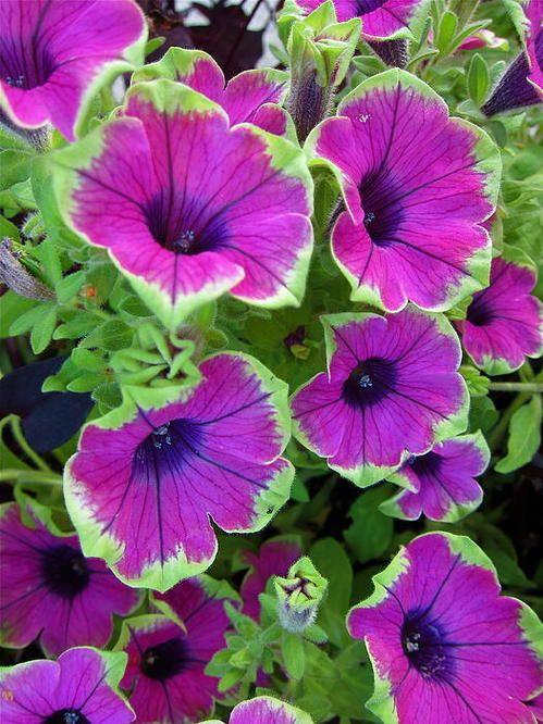 Variegated Petunias Art Print By Georgia Hamlin Bonsai Flower Petunias Beautiful Flowers