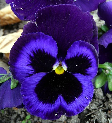 Pansy Black And Blue Pansy Flower Black And Blue Pansy Flower Pansies Flowers Pansies Heirlooms Flowers