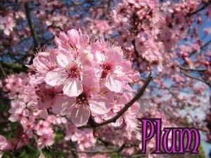 Blog Plum Tremblay Plumburnaby20070327 003 Ornamental Cherry Cherry Blossom Festival Cherry Tree