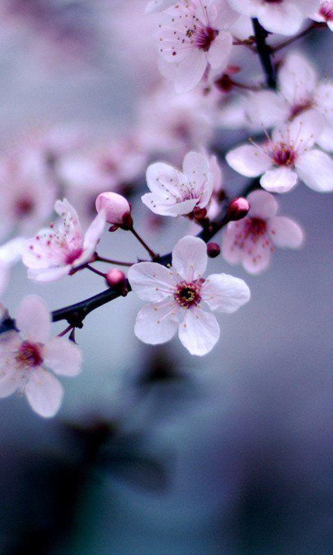 Pin By M S On Sakura Blossom Pretty Flowers Flowers Beautiful Flowers