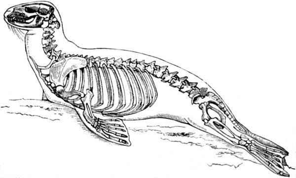 seal skeleton reference a drawing of a seal s skeleton inside the rh pinterest com Walrus Skeleton Diagram Fox Skeleton Diagram