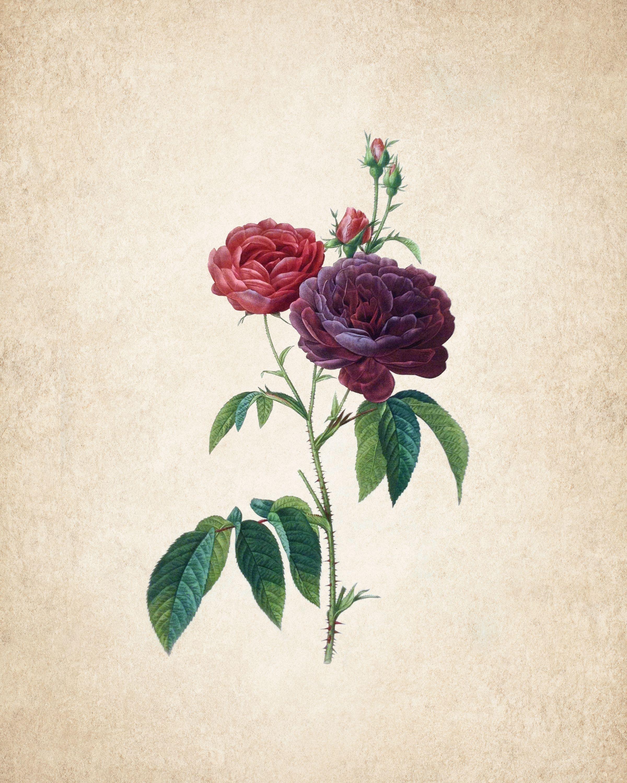 vintage rose illustration freebies printables