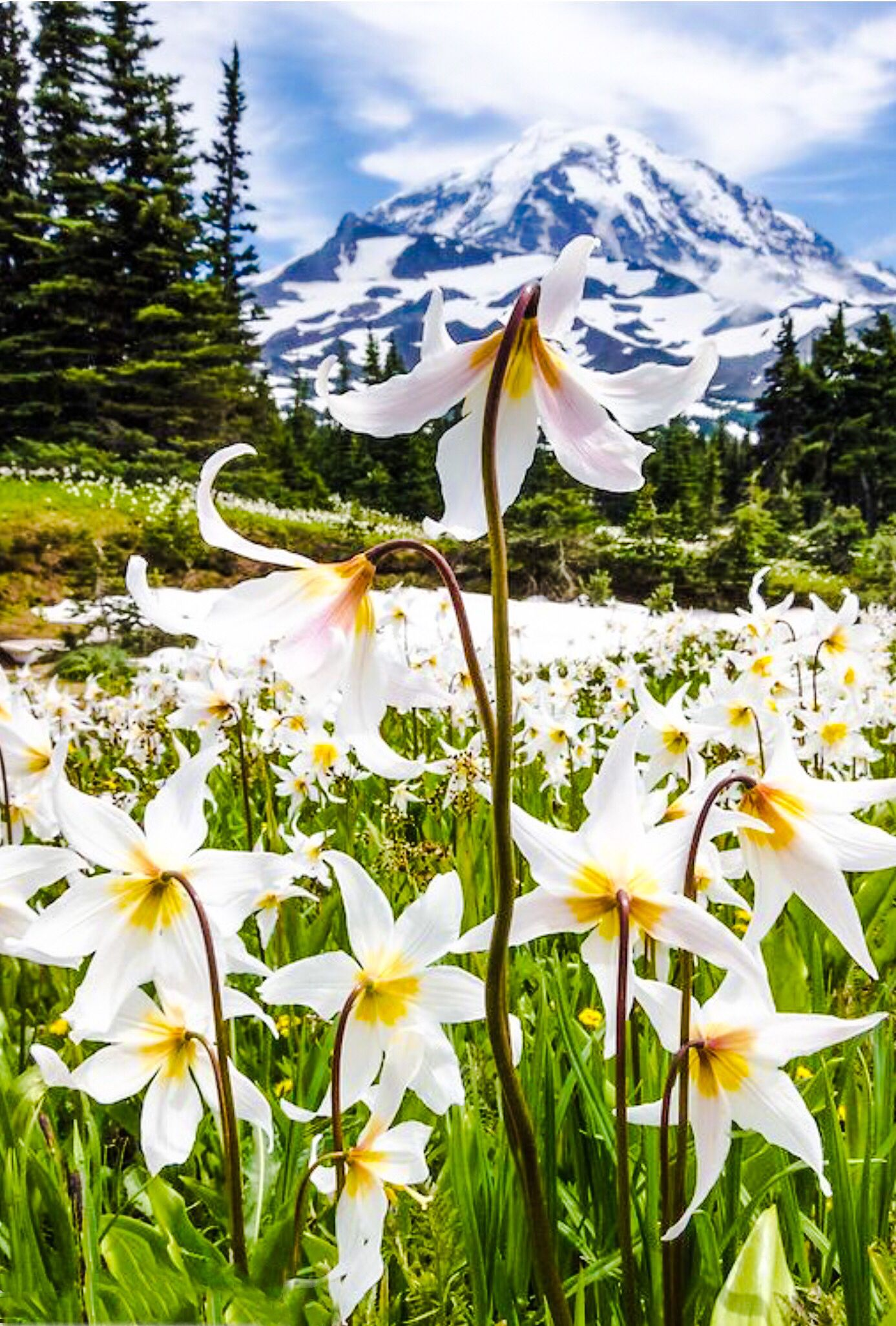 Fields Of White Avalanche Lilies Along The Trail In Spray Park