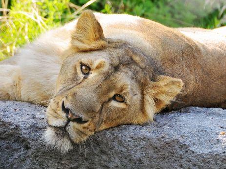Aziatische leeuw, National Park Gir, India