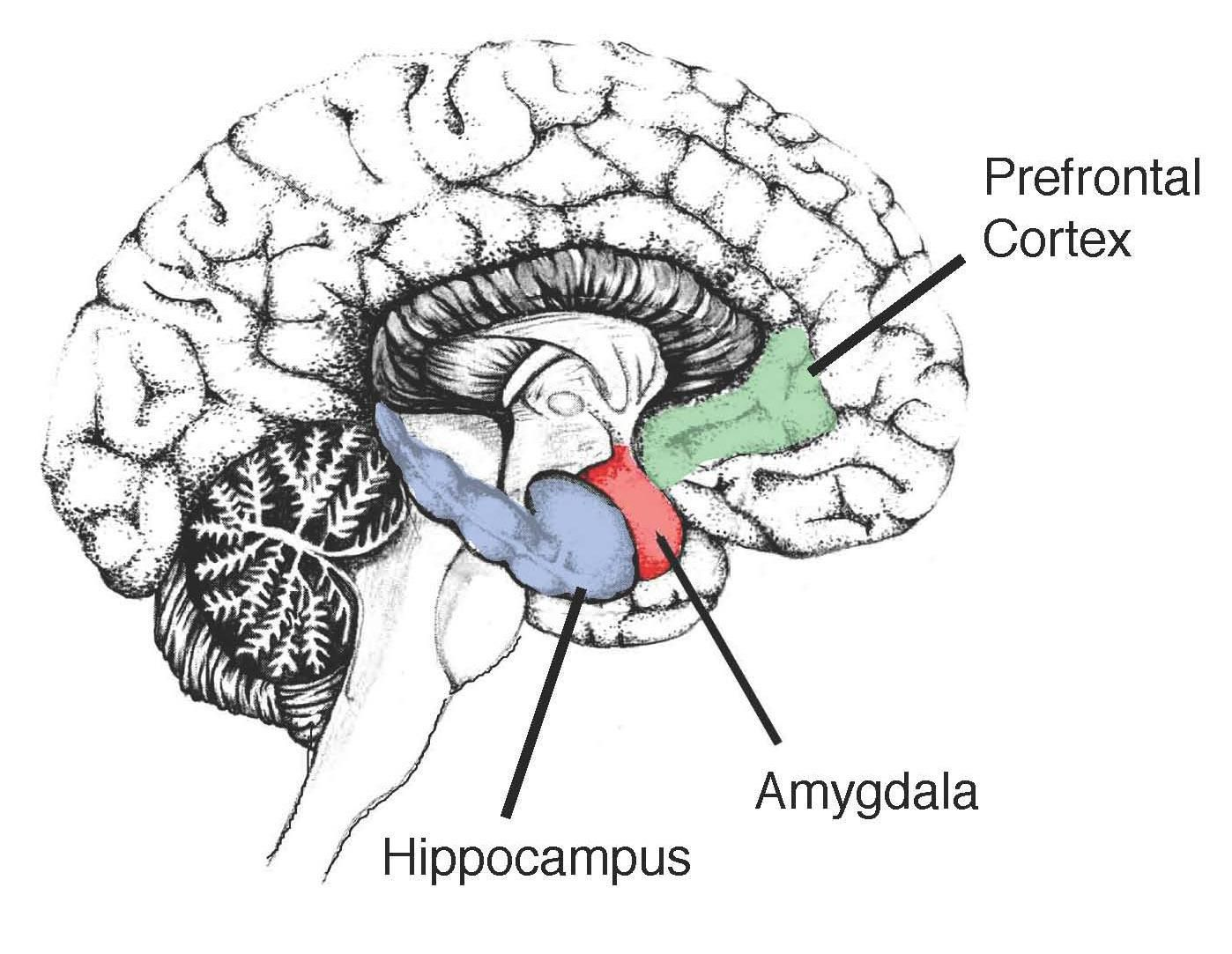 Image showing the hippocampus in the human brain 1441949b8610d5a344b image showing the hippocampus in the human brain ccuart Choice Image