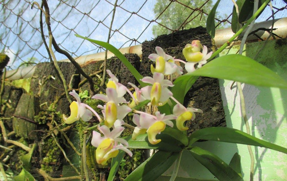 Gambar Bunga Anggrek Warna Hijau Anggrek Aerides Odorata Mengenal Anggrek Dendrobium Macrophyllum Kampung Anggrek 10 Bunga Gambar Bunga Bunga Taman Botani