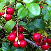 à couper le Souffle  Mot-Clé Health Benefits of Lingonberries Cowberries
