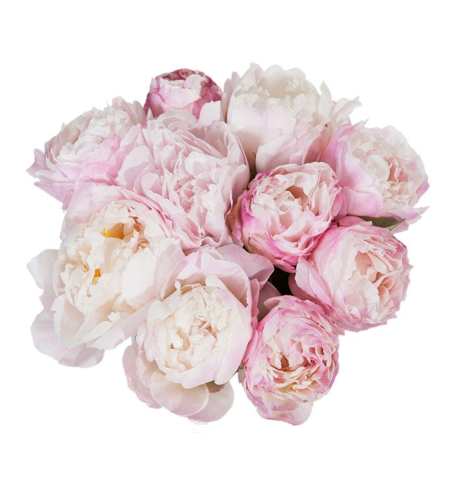 Rosa peoner | Mester Grønn