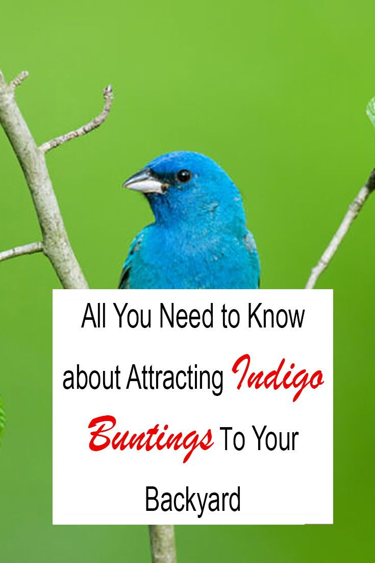 How to Attract Indigo Buntings to Your Backyard: Simple ...