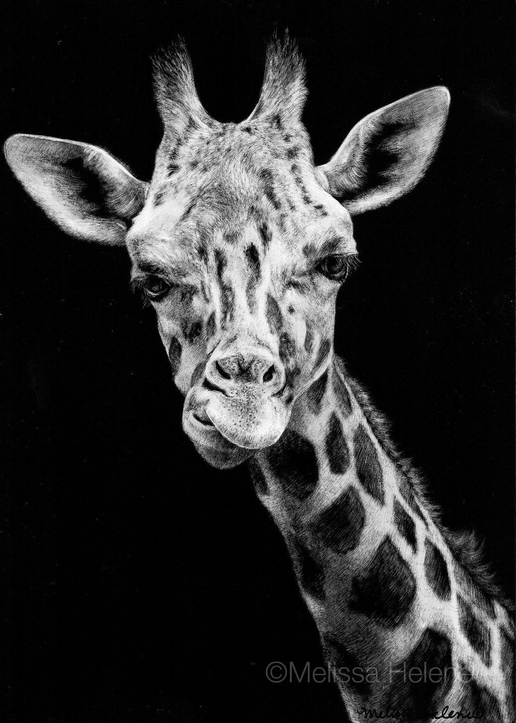 Giraffe | Melissa Helene Fine Arts 5x7 scratchboard www.melissahelene.com #giraffe #africananimals #wildlife