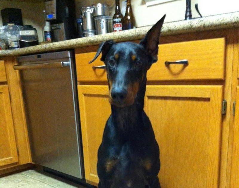 Meet Max A Petfinder Adoptable Doberman Pinscher Dog San Buster