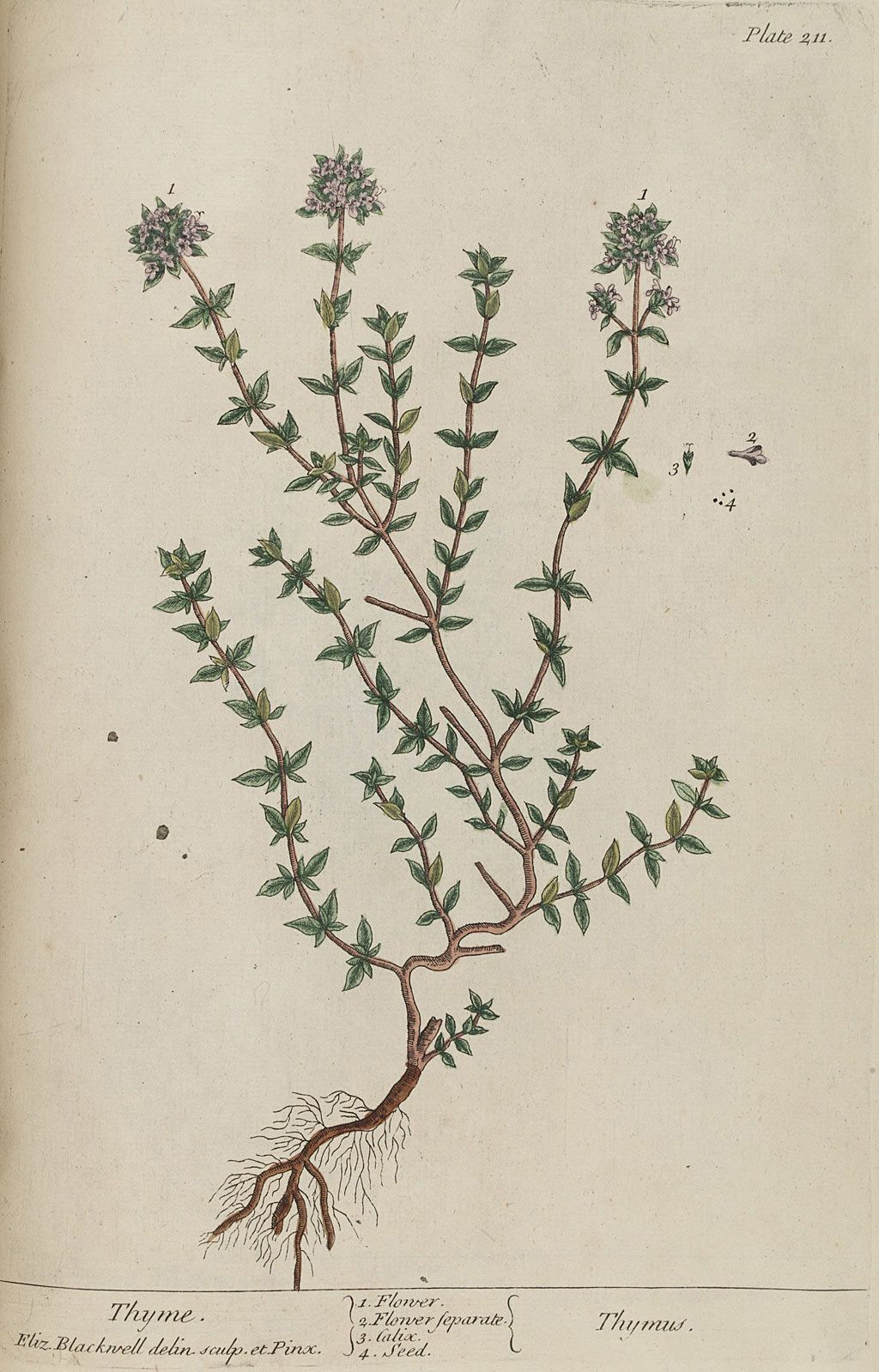 thymus serpyllum | Xerofyty 2 | Pinterest | Thymus serpyllum