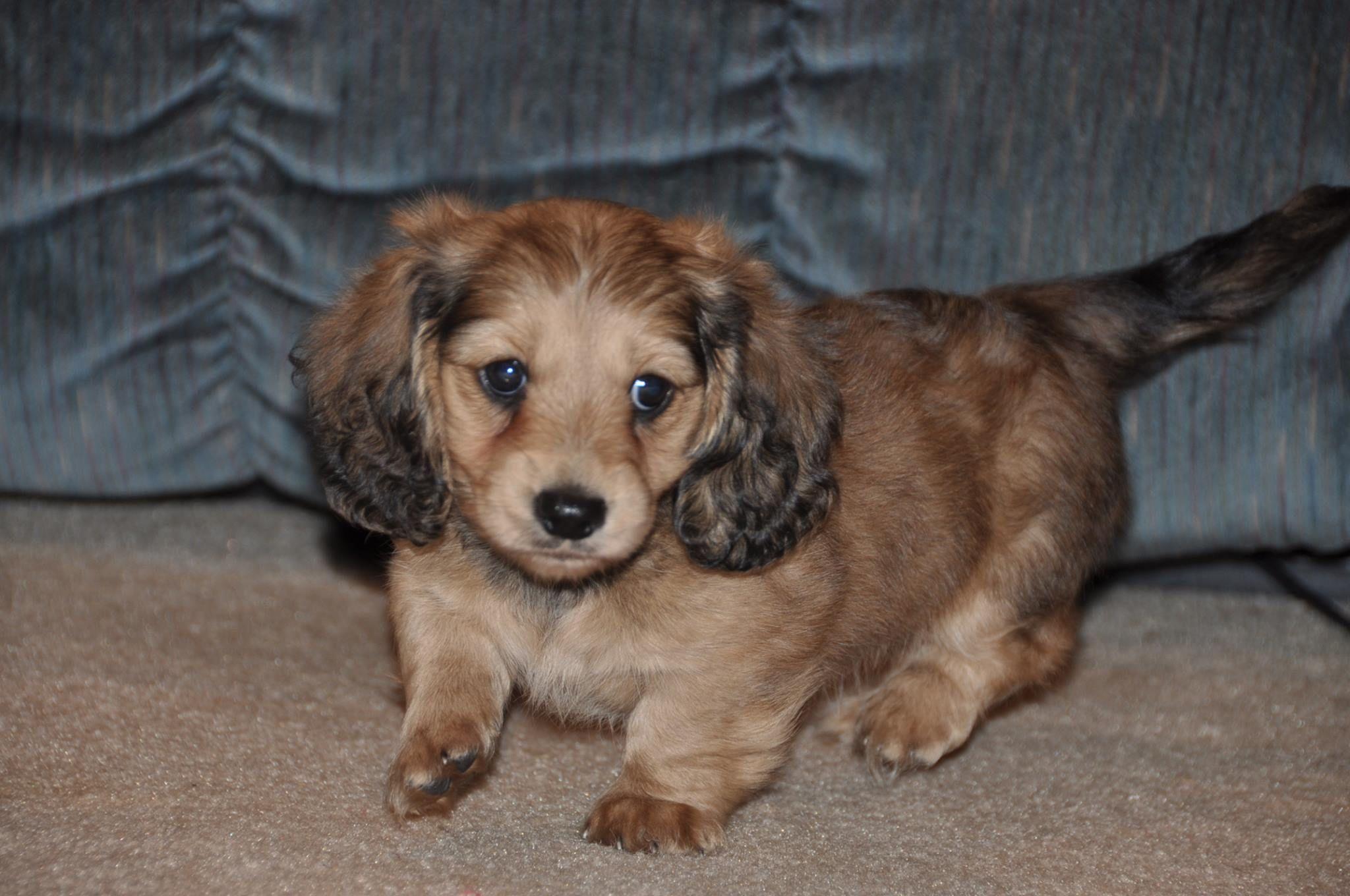 Akc Long Hair English Cream Miniature Puppies For Sale Dachshund