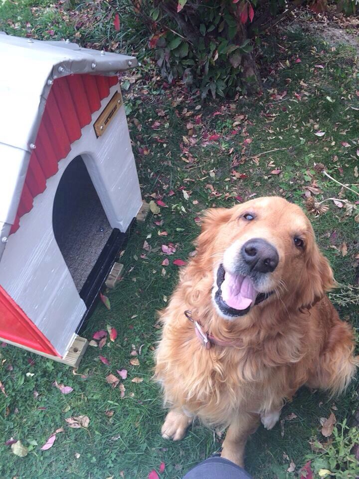 Pin by US LOST DOG REGISTRY on GOLDEN RETRIEVERS US LOST