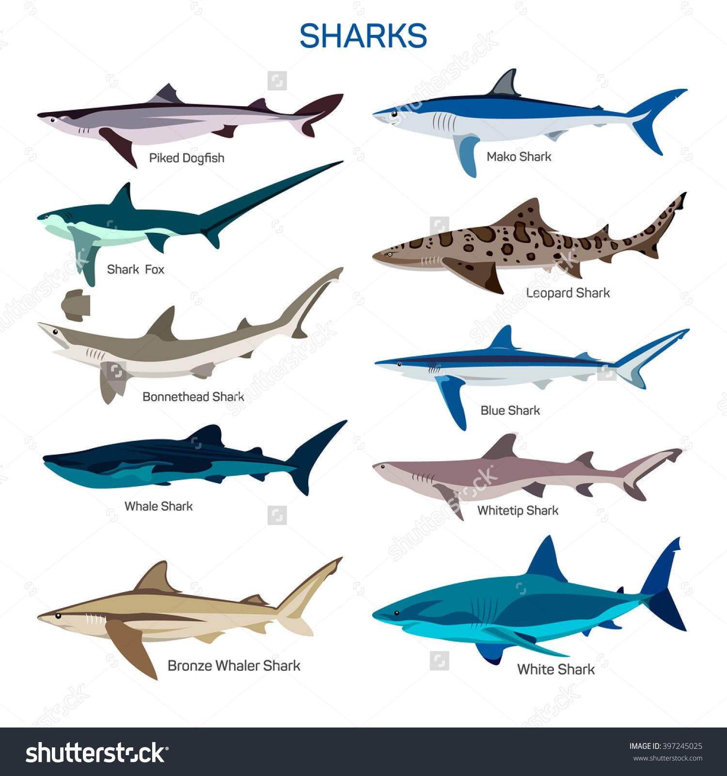an analysis of the different types of sharks chondrichtyes This paper contains a collection of 817 citations (no conference abstracts) on topics related to extant and extinct chondrichthyes (sharks, rays, and chimaeras) as well as a list of chondrichthyan species and hosted parasites newly described in 2017.