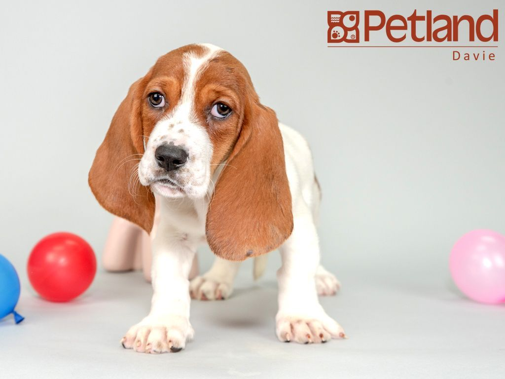 Petland Florida Has Basset Hound Puppies For Sale Interested In