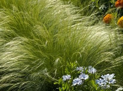 Ornamental Grasses Zone 7 Also know as mexican feather grass even more elegant foliage than also know as mexican feather grass even more elegant foliage than angel hair slightly taller grows tall hardy to zone workwithnaturefo