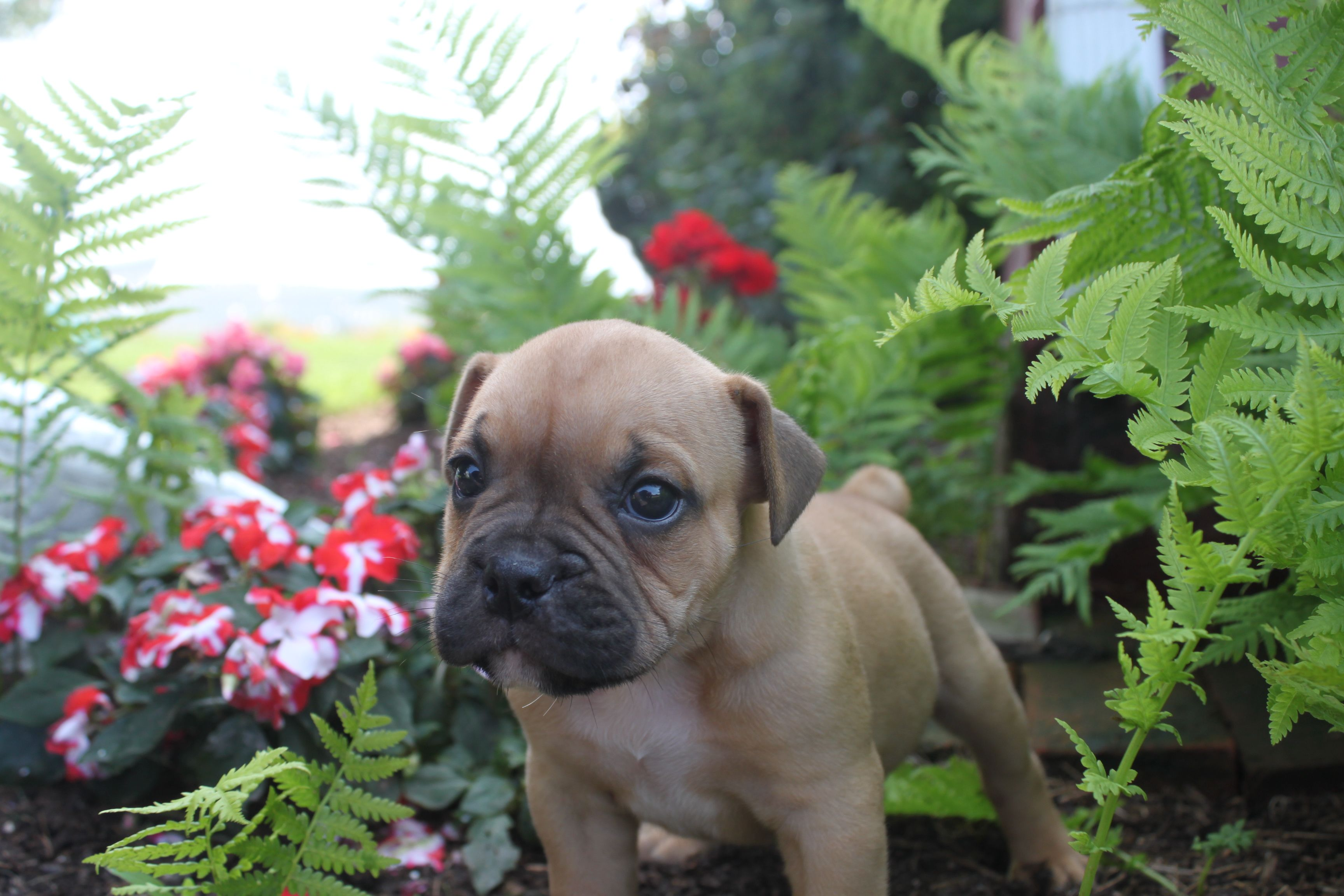 Olde English Bulldog Puppies For Sale In Pa Www Network34 Com