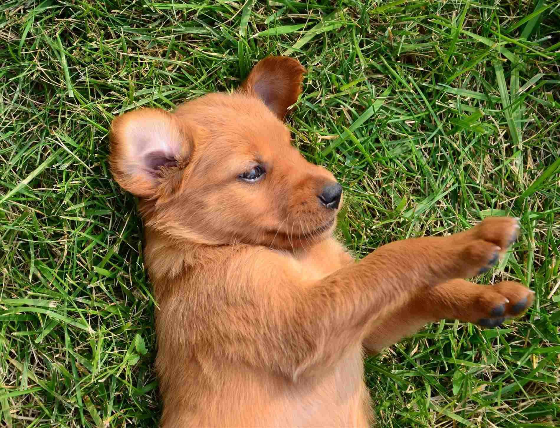 Park Art My WordPress Blog_Dark Golden Retriever Puppies Near Me