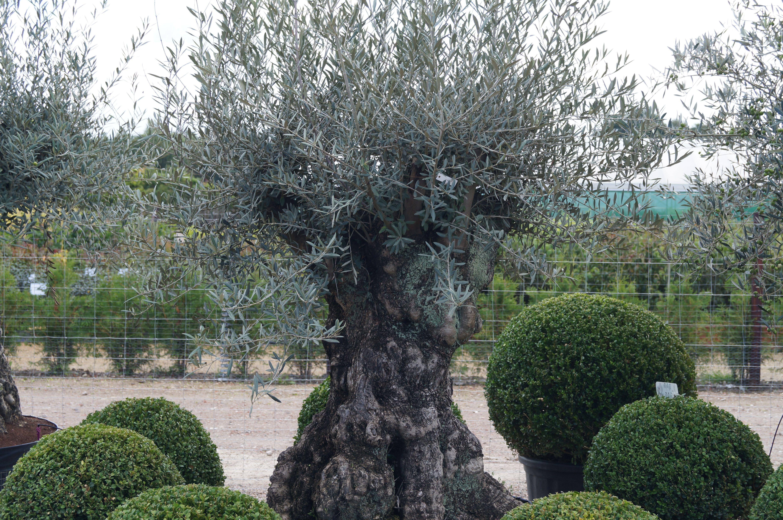 Wenn Es Um Mediterrane Gartengestaltung Geht Sind Olivenbaume Sehr Beliebt Der Olivenbaum I Mediterrane Gartengestaltung Gartengestaltung Mediterraner Garten