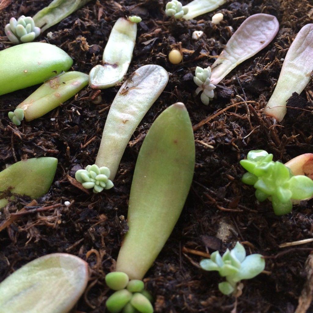 Comment Bouturer Des Plantes Succulentes Vegetable Garden For