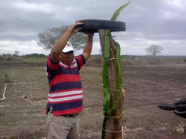 Vendo Llantas Recicladas Partidas Por La Mitad Para Ser Usadas En En La Plantacion De Pitahaya Roja Informes Al 0 Pitahaya Arte De Jardines Llantas Recicladas