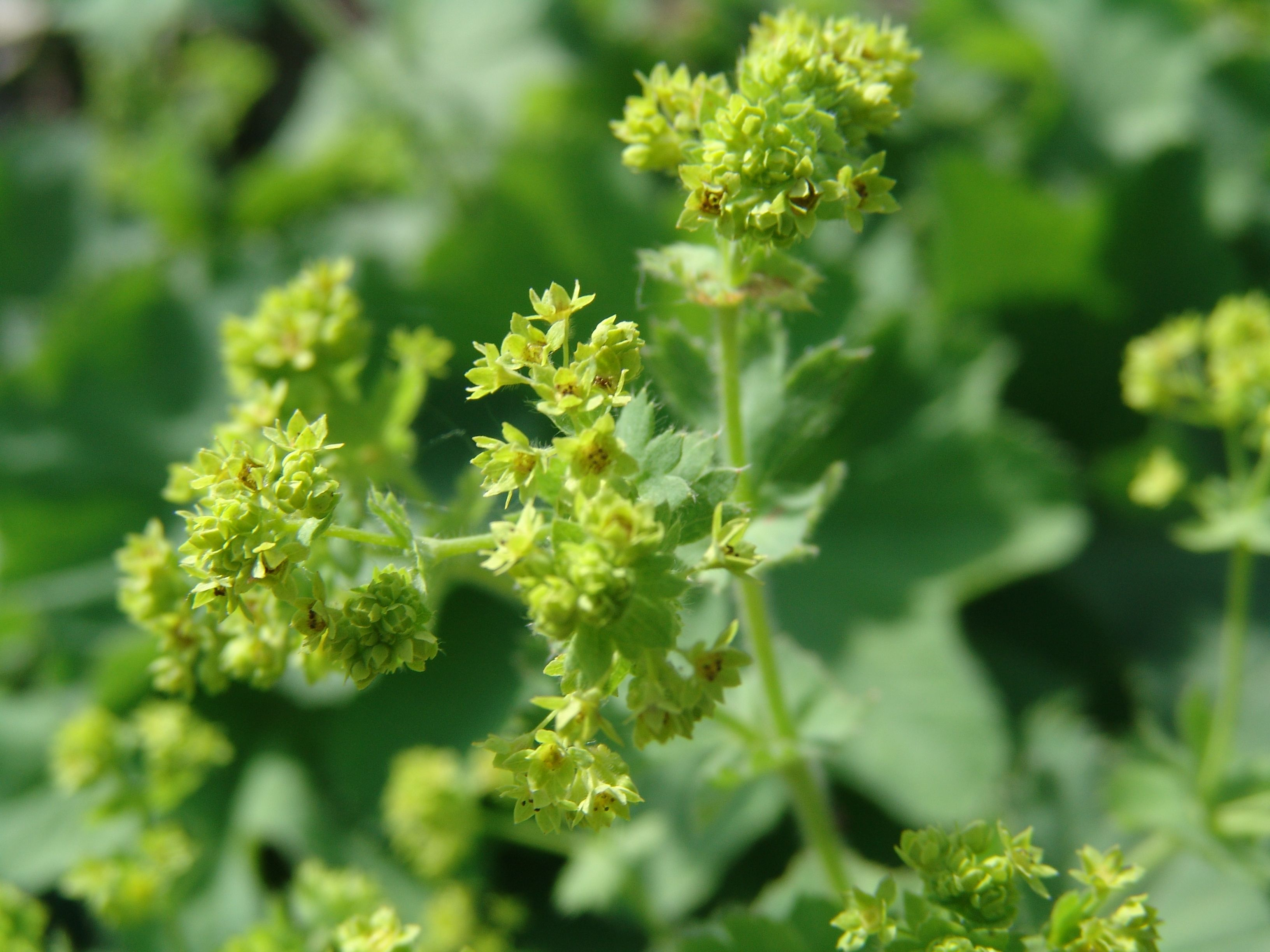 Lady's Mantle May flowers