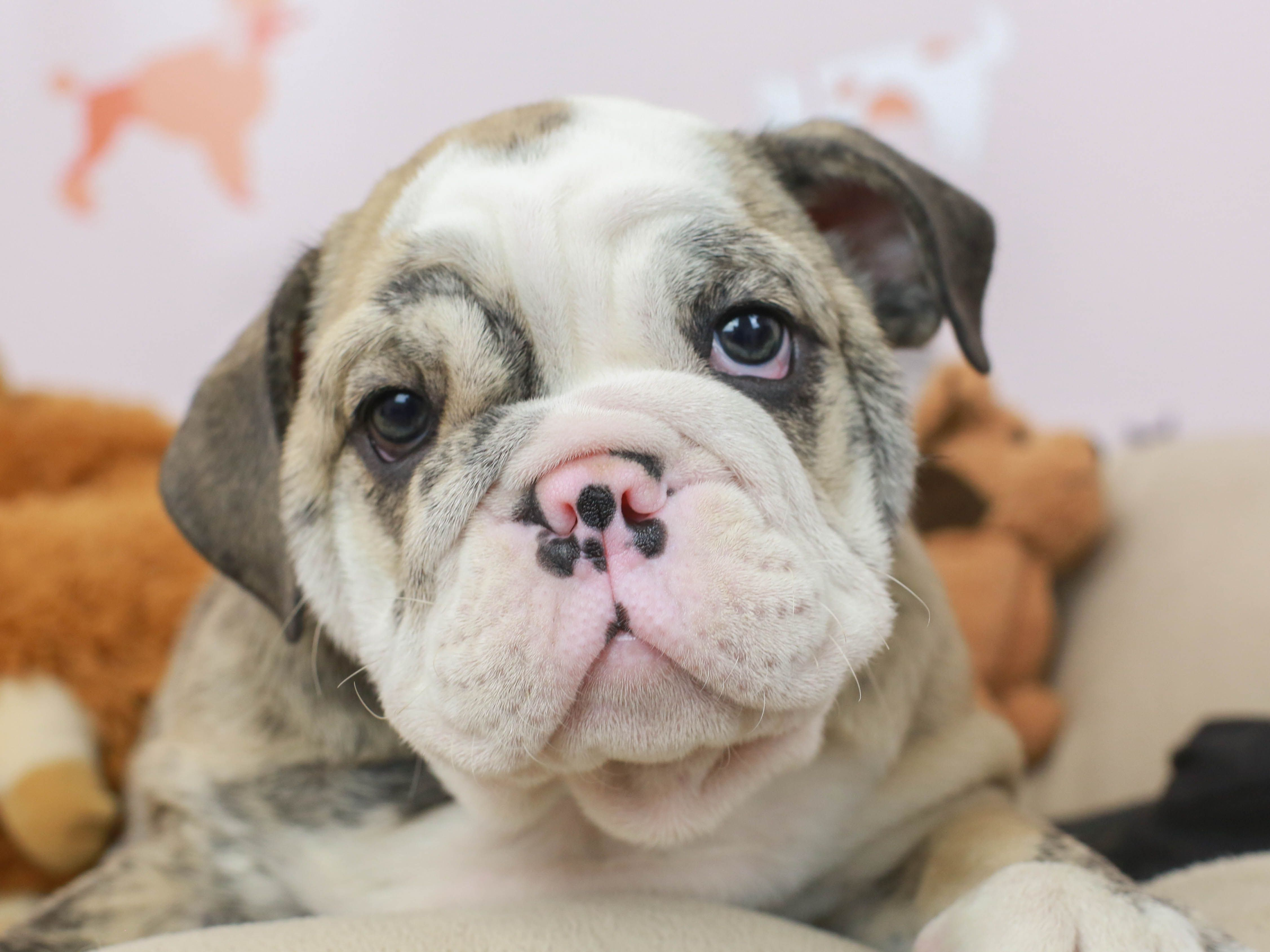 English Bulldog Puppy In 2020 Puppies For Sale English Bulldog Puppy Beautiful Puppy