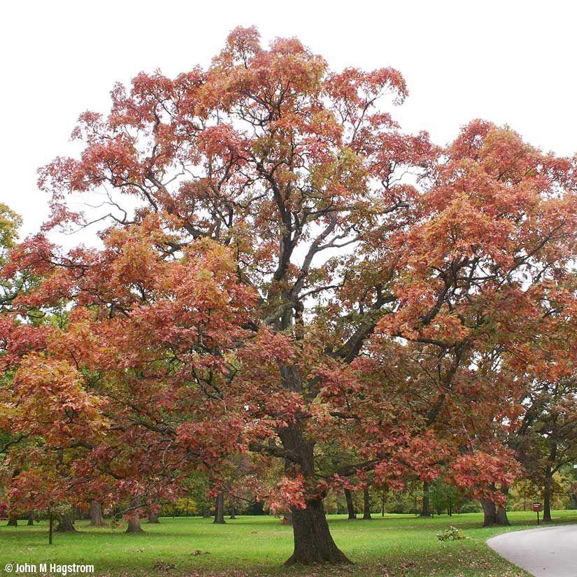 4604 Oak Arbor: White Oak. 50-80'. Slow To Medium Growth.
