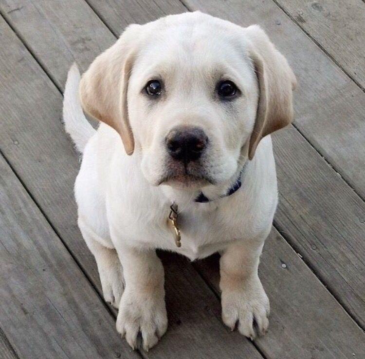 Golden Retriever Puppies For Adoption Golden Retriever Puppies