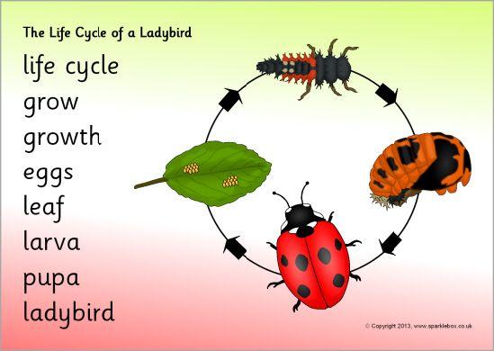 Life cycle of a ladybird/ladybug word mat (SB9619 ... - photo#11
