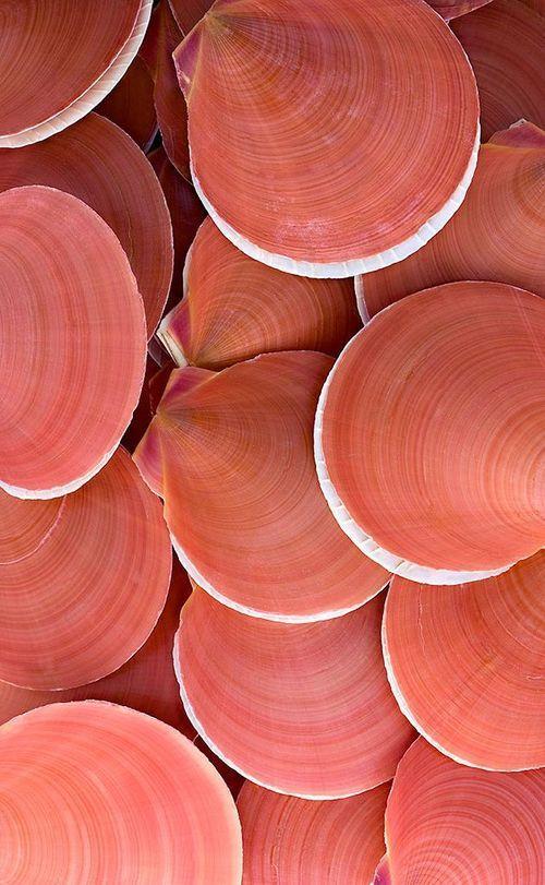 Coral Clam Sea Shells Peach Aesthetic Coral