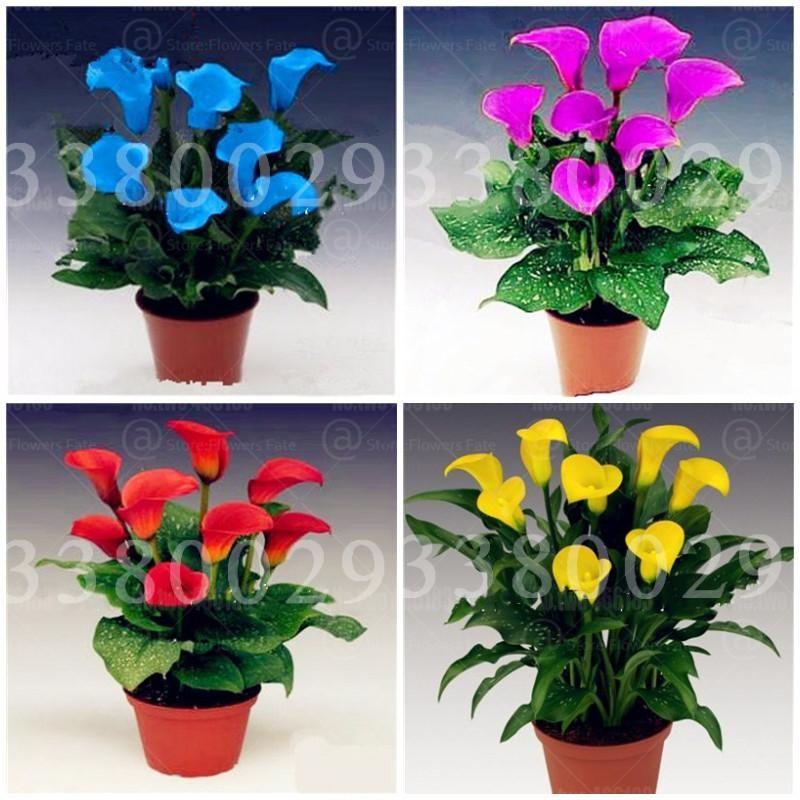 100pcs Calla Lily Plants Seeds Rare