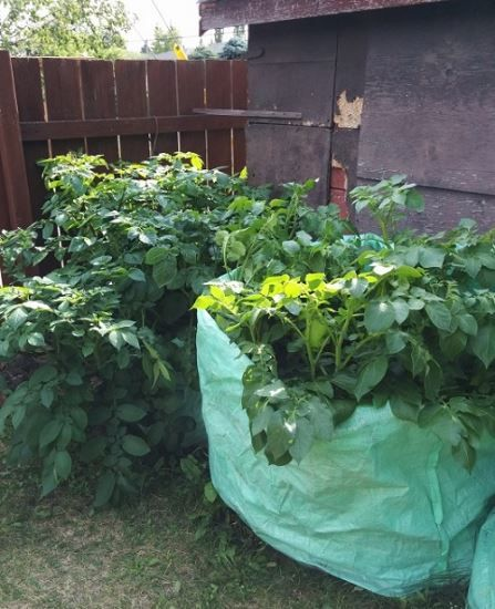Turn Unreturnable Bulk Bags Into Potato Planters Garden