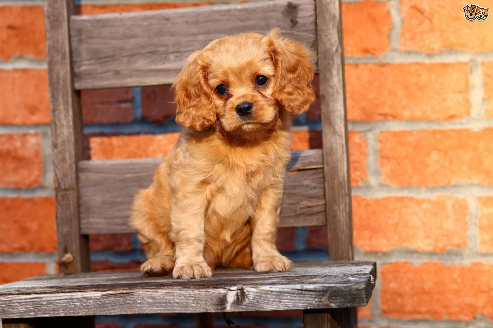 Dogs image by Rina Gryffin Cavapoo puppies, Dog breeds