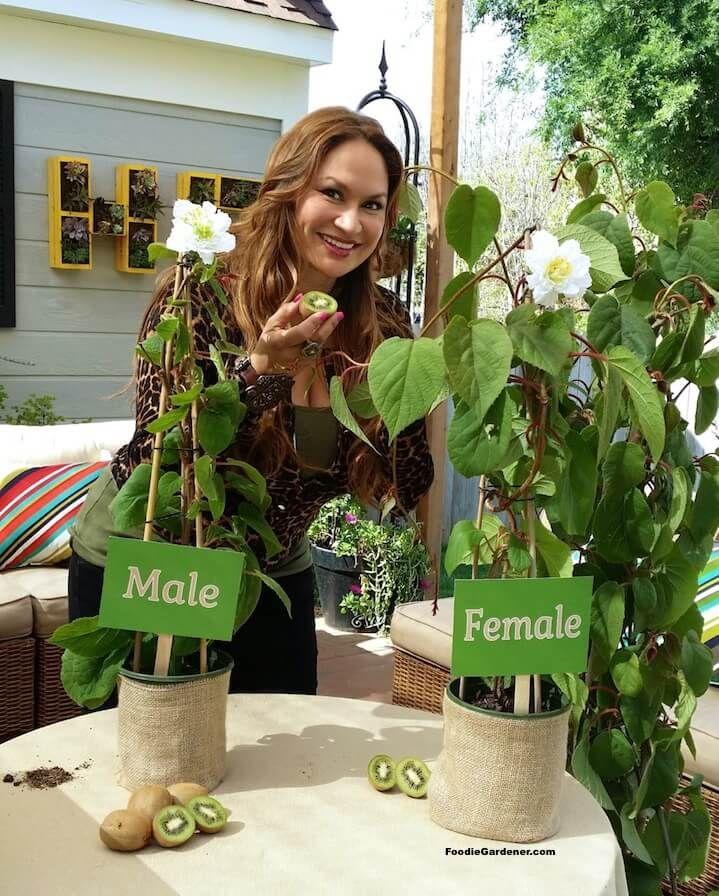 How To Grow Kiwi Plant In A Pot Kiwi Growing Plants Kiwi Fruit