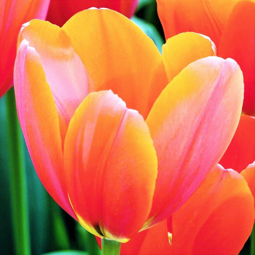 Tulip Avignon Easy to grow bulbs, Tulips, Home, garden