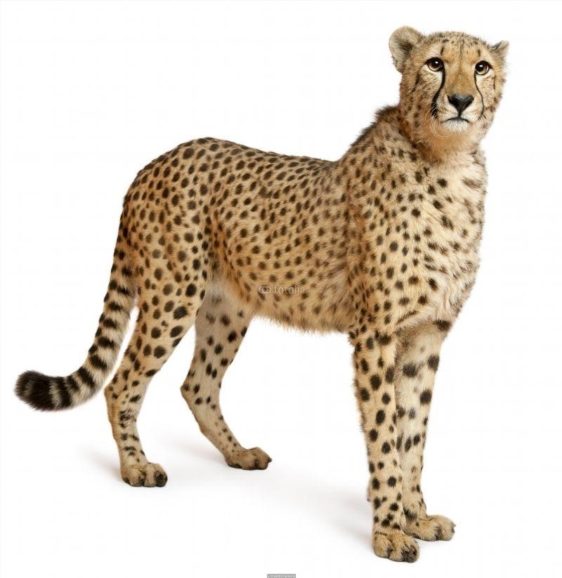 Cheetah Acinonyx Jubatus 18 Months Old Standing Poster Id F33240872 Animals Animal Posters Wild Animals Photos