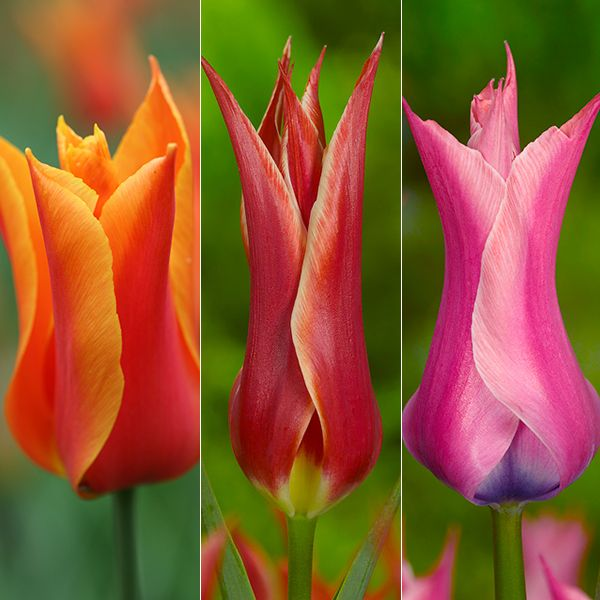Gc1web Ns Parrot Tulips Flowers Tulips