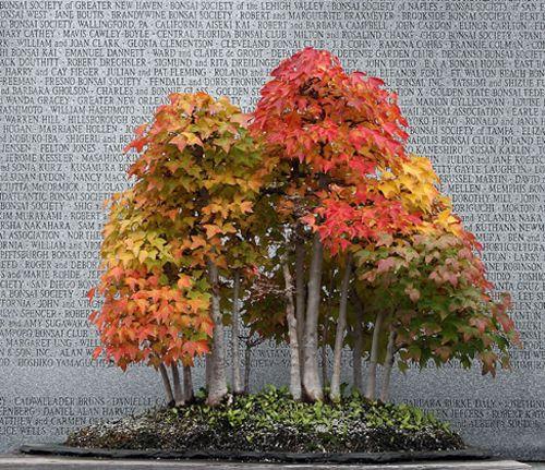 Fall Color Writ Small Bonsai Bark Bonsai Tree Types Maple Bonsai Bonsai Tree
