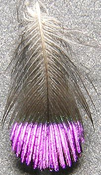 these feathers are so small that sixty are required to to cover the