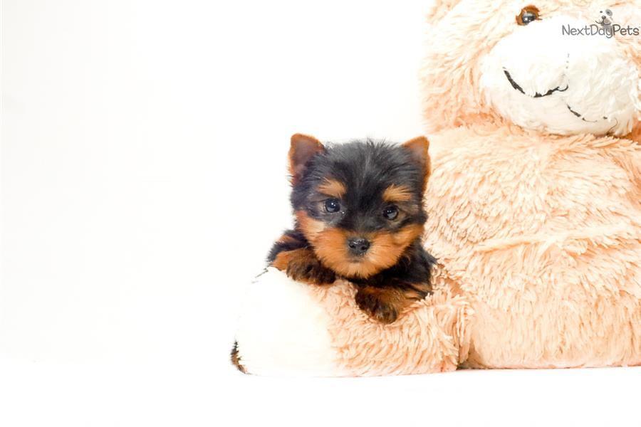 Meet Teacup Rascal A Cute Yorkshire Terrier Yorkie Puppy For Sale For 595 Te Yorkshire Terrier Yorkshire Terrier Funny Yorkshire Terrier Grooming