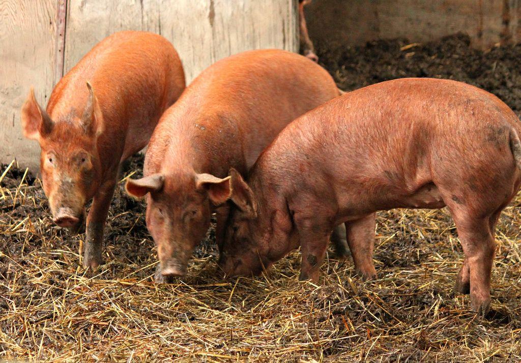 Tamworth Pigs Tamworth Pig Pet Pigs Tamworth